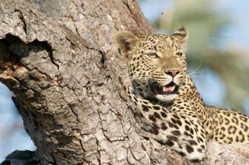 Leopard in a tree free photo