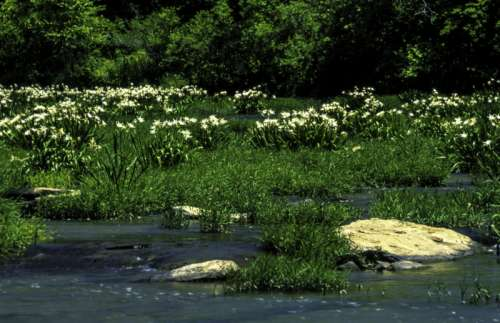 Lilies in the Cahaba River, Alabama free photo