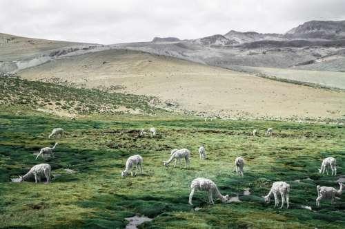 Llama grazing on the grass in the landscape in Colca, Peru free photo