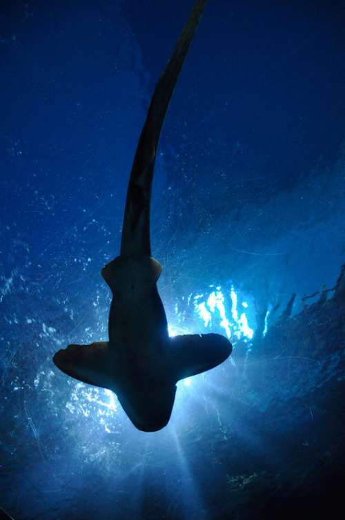 Looking at a shark from underneath  free photo