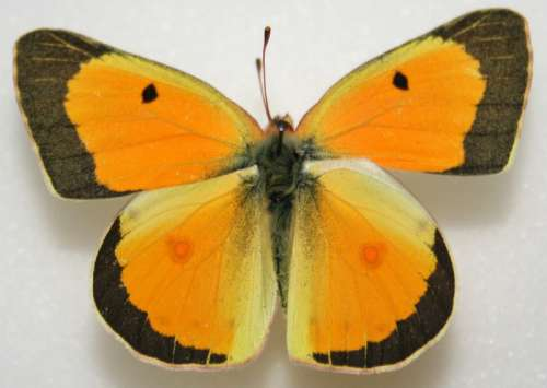 Male Orange Sulphur, Colias eurytheme free photo
