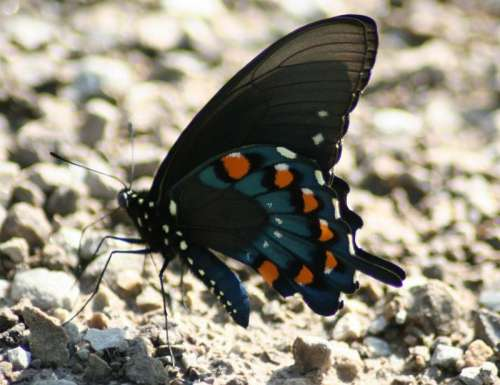 Male Pipevine Swallowtail, Battus philenor butterfly free photo