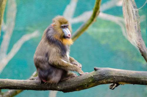Mandrill sitting on a branch free photo
