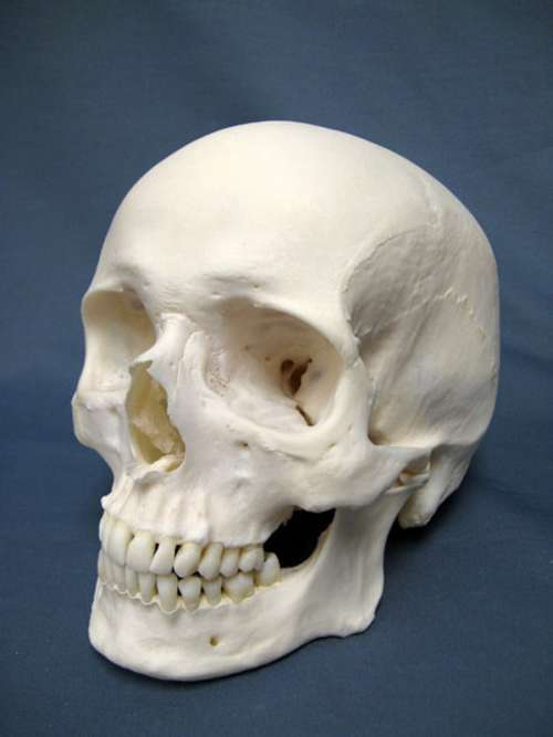 Modern Human Skull free photo
