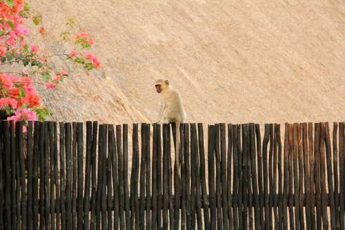 Monkey on the fence in Johannesburg, South Africa free photo