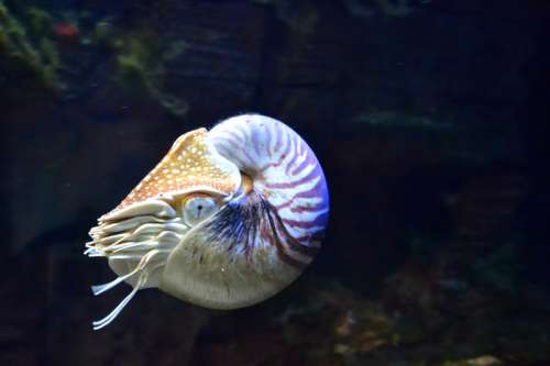 Nautilus in the water free photo
