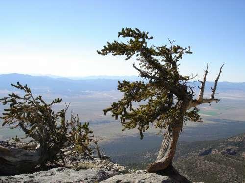 Old Pine Tree at Great Basin National Park, Nevada free photo