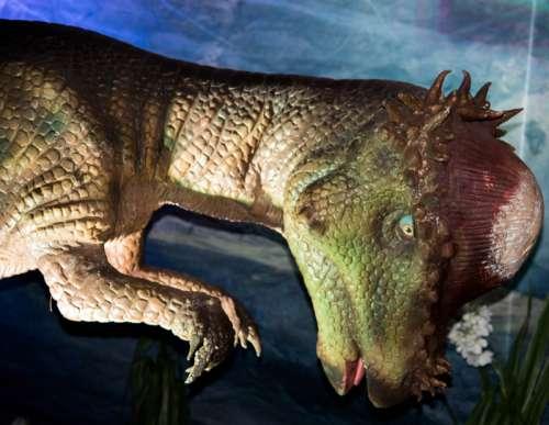 Pachycephalosaurus Dinosaur free photo