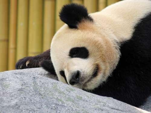 Panda Bear Sleeping on a rock free photo