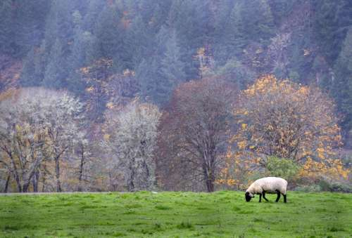 Pasture with sheep eating grass in Oregon free photo