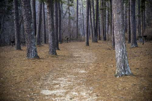 Path into the pine trees at Hawn State Park, Missouri free photo