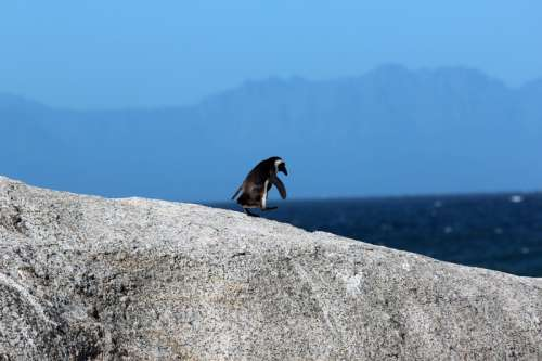 Penguin on the rocks around Cape Town, South Africa free photo
