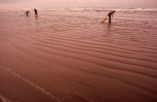 People harvesting razor clams on the beach in Seaside, Oregon, 1972 free photo