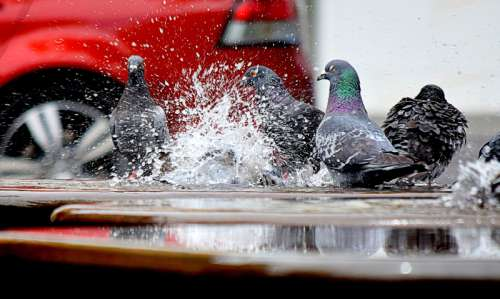 Pigeons splashing in Puddles free photo