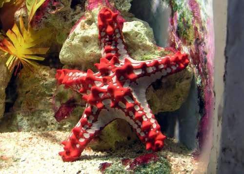 Red-knobbed starfish, a member of Valvatida free photo
