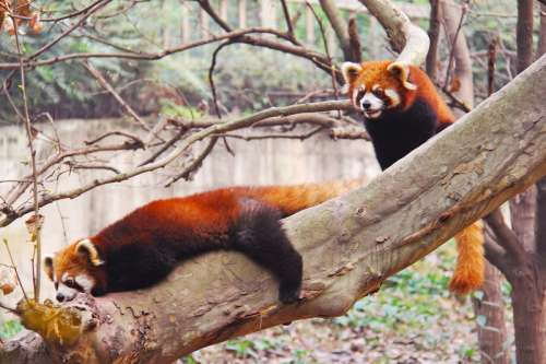 Red Pandas on a tree in Sichuan Panda research center in Chengdu, China free photo