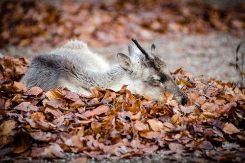 Reindeer sleeping on leaves free photo