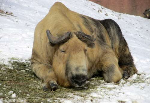 Resting Sichuan Takin in China free photo