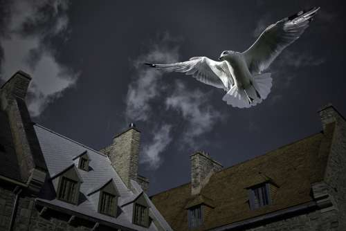 Seagull above the houses in Quebec City, Canada free photo