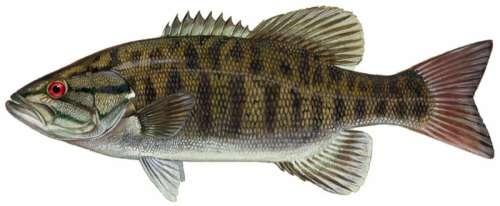 Smallmouth Bass - Micropterus dolomieu free photo