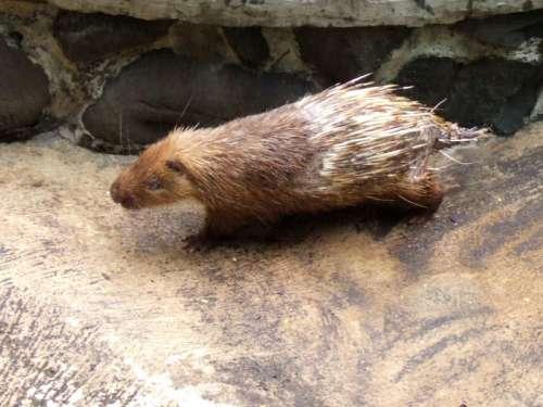 Sunda Porcupine -- Hystrix javanica free photo