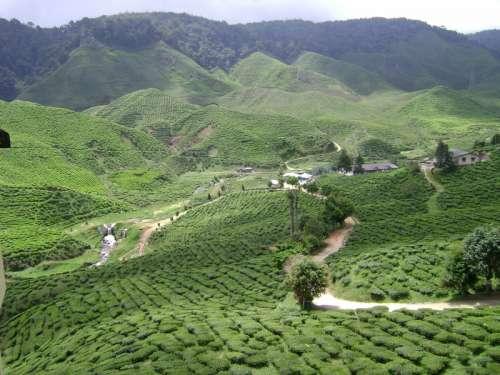 Tea Plantation landscape in Malaysia free photo