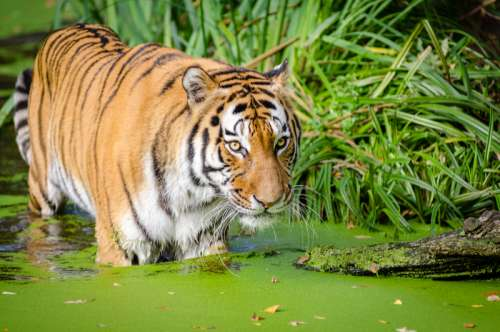 Tiger Near the shore in a pond free photo