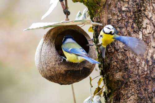 Two Blue Tits at the nest free photo