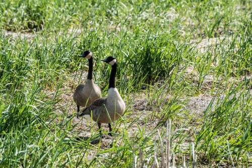 Two Canadian Geese in the Grass free photo