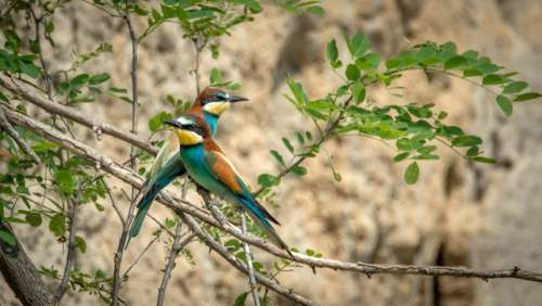 Two European Bee-Eaters standing on a branch - Merops apiaster free photo