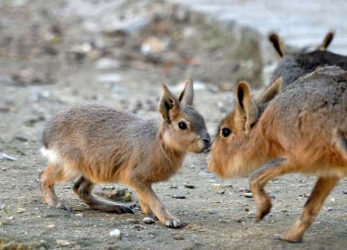 Two Maras sniffing each other free photo