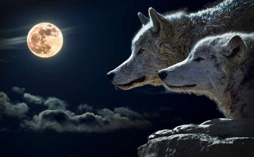 Two Wolves on a night with a full moon free photo