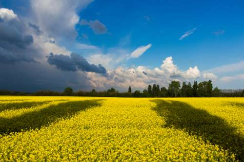 Yellow flower fields in Ukraine free photo
