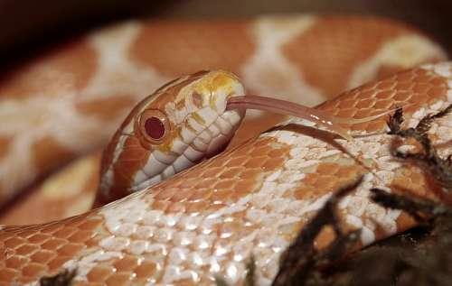 Yellow Venomous Snake free photo