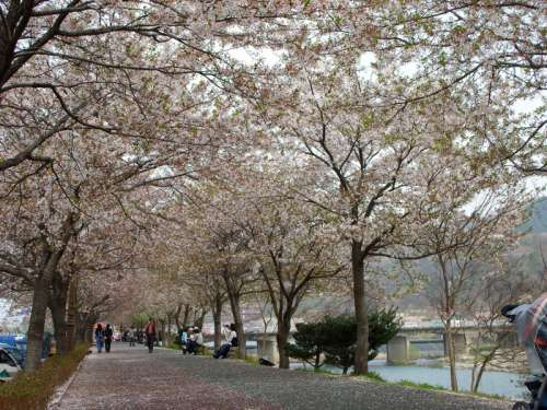 Yocheon River in spring in Namwon, South Korea free photo