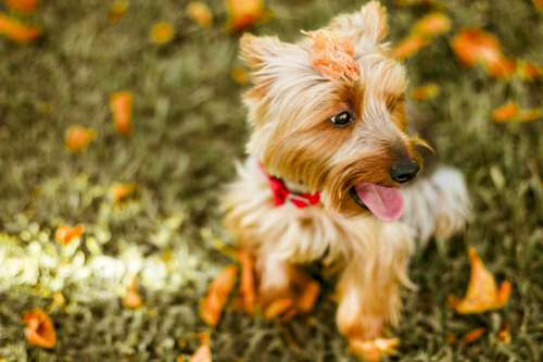 Yorkshire Terrier Doggy Pet free photo