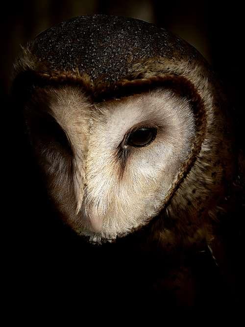 black background owl free image