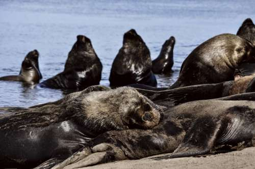 Sea lions resting at Necochea Beach in Buenos Aires, Argentina free image