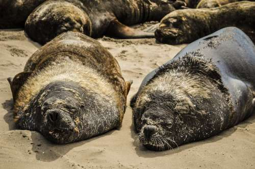 sea lions resting on a beach in South America free image