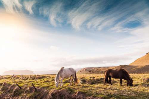 Beautiful Horses on Iceland