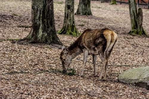 A Female Deer Doe Poland Demonstration Reserve