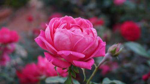 A Rose Romance Beauty Aroma Pink Bloom Pink Roses