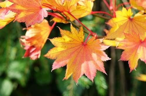 Acer Maple Autumn Leaves Orange Foliage