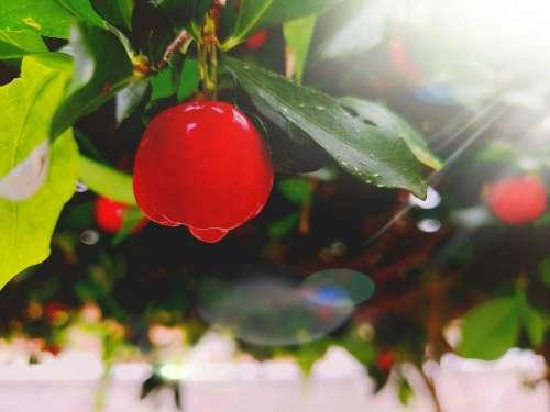 Acerola Sunset Orchard Fruit