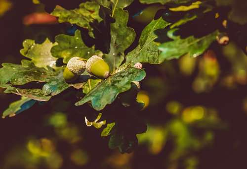 Acorns Acorn Oak Leaves Branch Leaves Green Plant