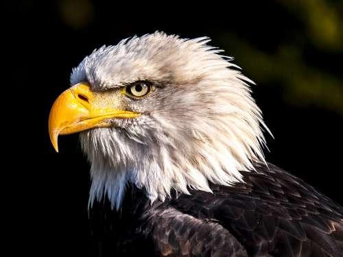 Adler White Tailed Eagle Bald Eagle Bird Raptor