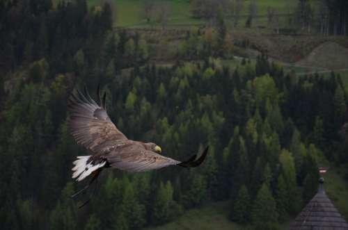 Adler Bird Bird Of Prey Raptor Animal Freedom