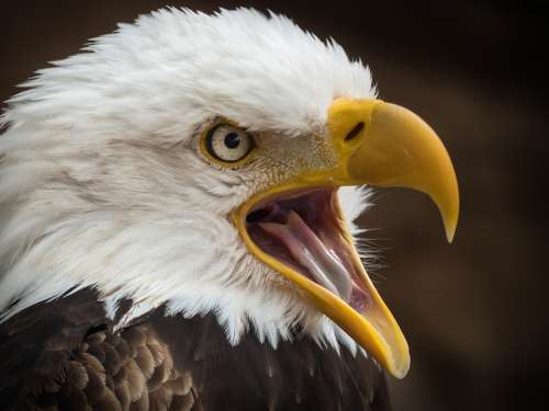 Adler White Tailed Eagle Raptor Bird Of Prey