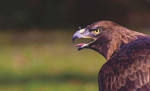 Adler Raptor Bird Of Prey Animal Bill