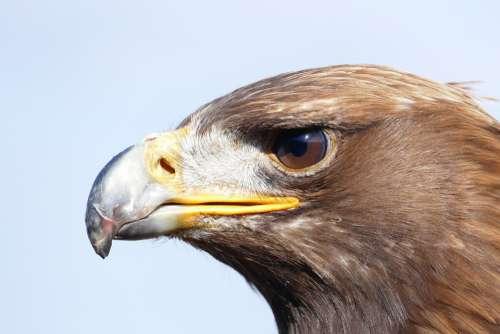 Adler Bird Bird Of Prey Raptor Nature Close Up